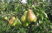 Саженцы груши сорт Платоновская (осенний)