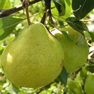Саженцы груши сорт Августовская роса (летний)