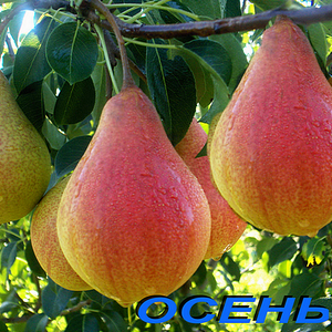 Саженцы груши сорт Забава (осенний)