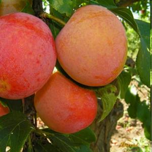 Саженцы алычи сорт Скороплодная
