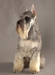 Цвергшнауцера замечательные щенки
