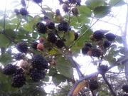 саженцы плодово-ягодных из частного питомника