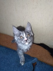 Очаровательные и ласковые котята мейн-кун,